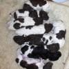 pups Sjuke x Leffert 1 geb. 4mei 2011