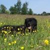 Jarige Roaske in het gras.