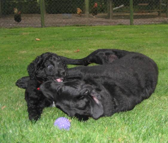 F2 nesten: Wetterhoun/Labrador Retriever x Wetterhoun