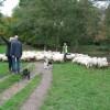 Gallowglass en de schapen