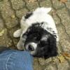 onze pup van Blomke zijn naam is Storm